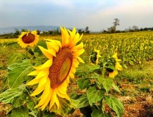 Sunflower Fields in Samlot