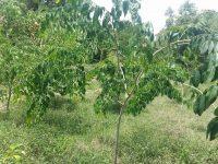 tree planting cambodia